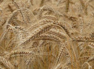 Turci kvare Rusima posao sa pšenicom