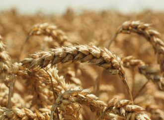 Proizvodnja pšenice u BiH povećana za 43,9 posto, a kukuruza za 50 posto