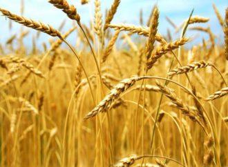 Rusija postala lider u izvozu pšenice
