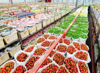 Holandska industrija cvijeća očekuje u ovoj nedjelji profit od 125 miliona eura