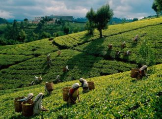 Šri Lanka: Proizvodnja čaja pala treću godinu zaredom
