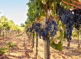 Mraz i suša smanjili proizvodnju vina u Francuskoj za petinu