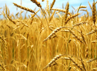 Rastuće zalihe pšenice u Kini, Maroku i Rusiji