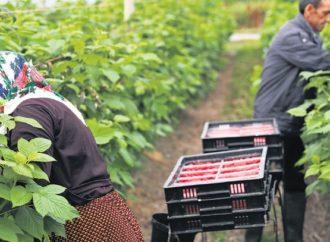 Britanski farmeri sele njive na istok jer ne dolaze radnici